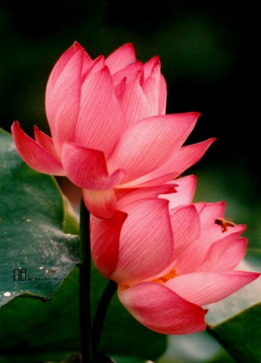 The Red Lotus is a symbol of Love and Compassion