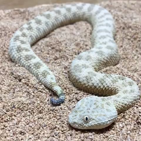 Snake sneakily buries itself in with barely any movement as a defense tactic