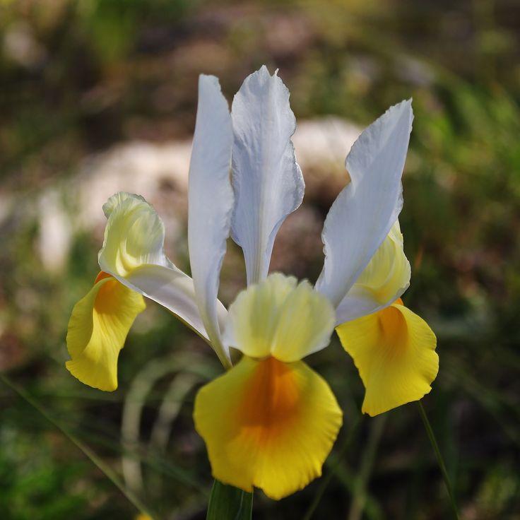 17 meilleures id es propos de fleurs d 39 iris sur for Aubade jardin d iris