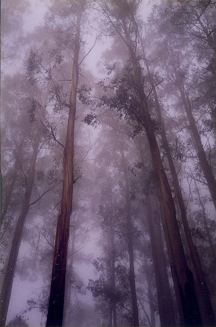 Clouded in mystery... Early morning fog throughout a Mountain Ash grove. The Dandenongs, Victoria.