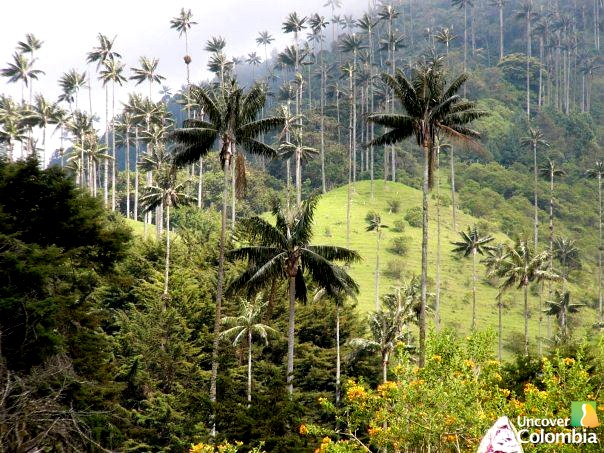 Valle de Cocora in the coffee region - Uncover Colombia tours