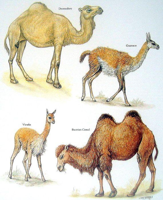 Ungulates: Hoofed Mammals