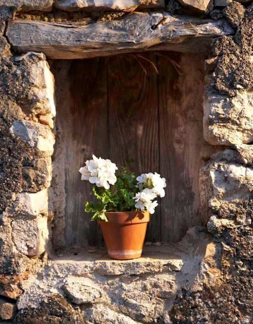 White geraniums in clay pots. For outside