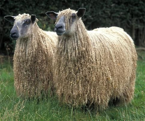Wensleydale ewes in full fleece. Wensleydale sheep are a large, rare, long  wooled breed of sheep originating in North  Yorkshire, England.  They are quite  beautiful and generally very friendly.    Their fiber produces lovely yarn perfect  for many projects.