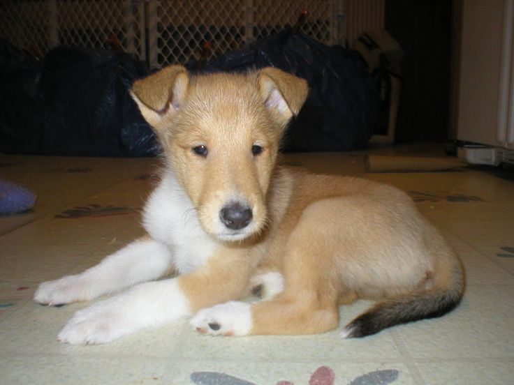 smooth collie puppy dog                                     that's a real dog it look like a stuffed animal? So cute