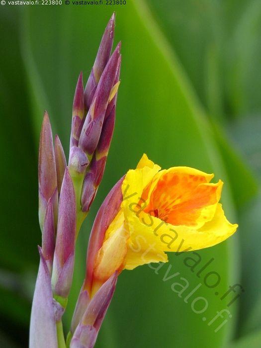 Kanna - kukka canna trooppinen koristekasvi kanna keltainen kukinto teriö…