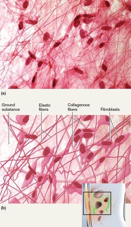 This picture shows areolar tissue, containing ground substances, elastic fibers, collagenous fibers, and fibroblasts. Areolar tissue is characterized loose connective tissue.