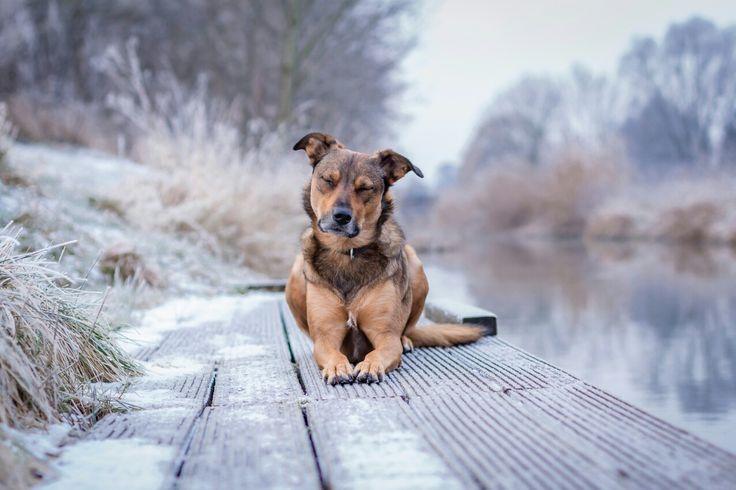 meditierender Schäferhund