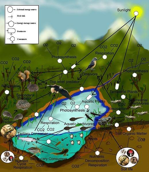 A freshwater aquatic and terrestrial food-web.