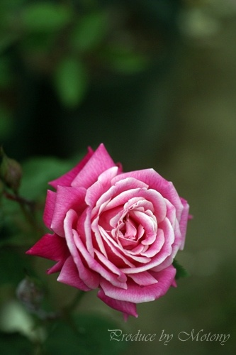 Tea Beauty of Rosemawr