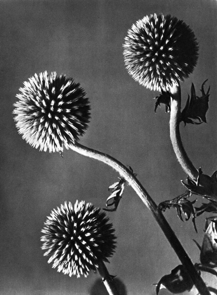 Man Ray - Flowers   (1934 Sheet-fed Gravure printed by Neogravure Company, France - Image size (inches) approx. 8.5 x 11)