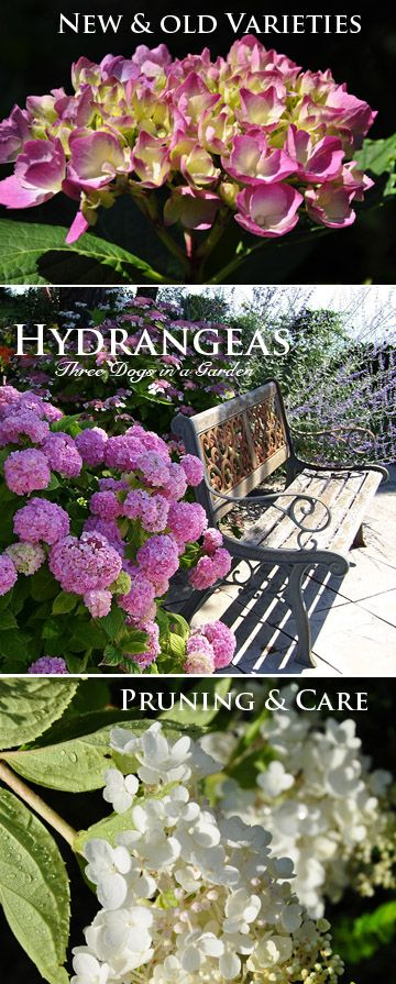 three dogs in a garden hydrangeas care basics old u new varieties cuidado de