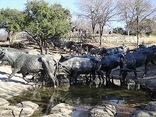 Pioneer Plaza.  Located in downtown Dallas, this is a very large, multi-figure bronze sculpture of a cattle drive.  It's pretty cool to wander around among the figures.  This is probably my favorite thing to see in Dallas.