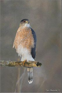 Cooper's Hawk | by Earl Reinink