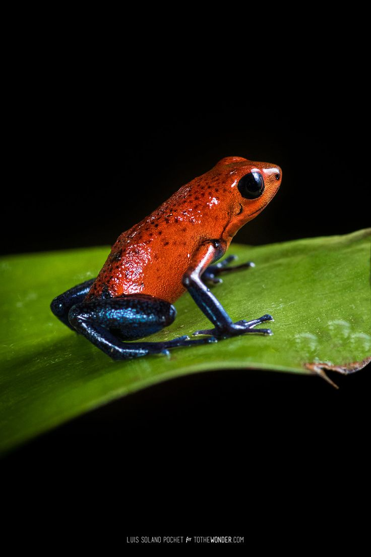 "Strawberry poison-dart frog or ""blue jeans frog"" found in the rainforests from eastern central Nicaragua through Costa Rica and northwestern Panama. Call +1-844-9-UNPLUG for your next wildlife exploration trip to Central America or visit centralamericavacation.com to see travel packages."