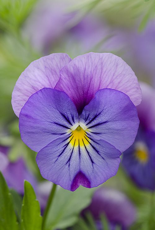 Bicolor Pansy... My most favorite flower ever!