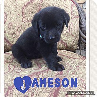 Pictures of Jameson a Labrador Retriever Mix for adoption in Brattleboro, VT who needs a loving home.