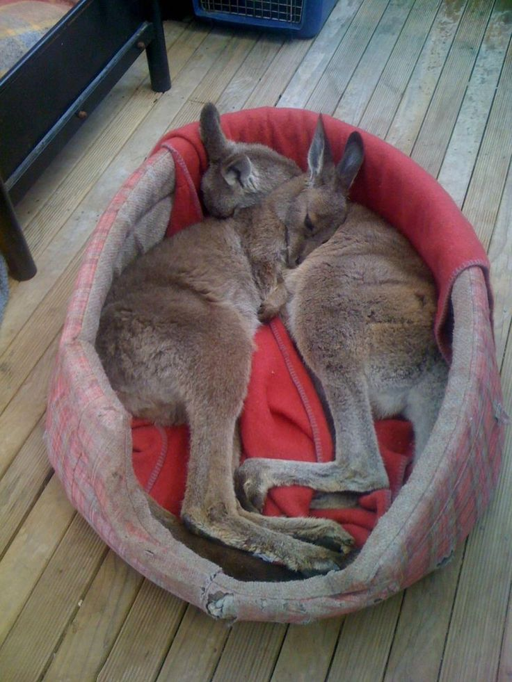They jumped at the opportunity to take a nap -Sleepy kangaroos.... - Pixdaus