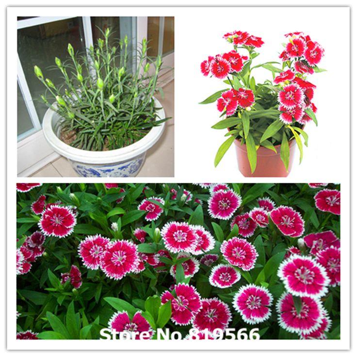 Китайский гвоздика chinensis семена крытый бонсай радуга розовый открытый сад медицины травы Caryophyllus завод countryard Sementes