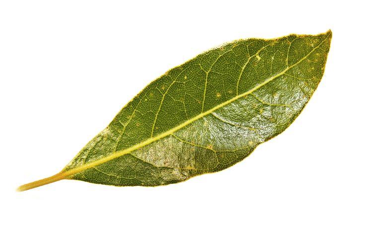 Bay leaf - Simple English Wikipedia, the free encyclopedia