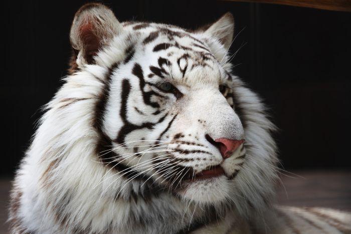 【かっけえ】ホワイトタイガーの画像を貼っていく【かわいい】