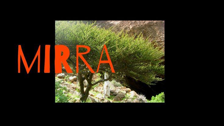 Il nome botanico è Commiphora Myrrha e appartiene alla famiglia delle Burseracee, la stessa dell'incenso. È un arbusto spinoso che raggiunge i tre metri di altezza, solo alcune specie raggiungono i dieci metri. Cresce allo stato selvatico, ha il tronco tozzo e grigio con rami irregolari che spigano in modo disordinato. Le foglie sono molto …