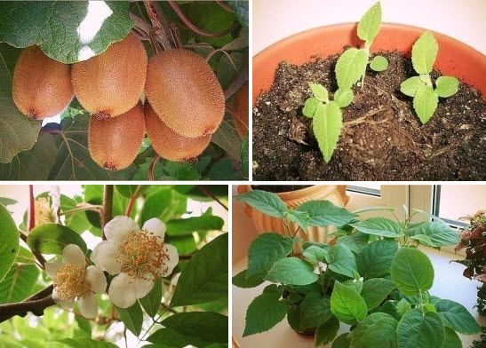 Выращиваем киви дома Лучшее время для посева – с марта по май. Выберите в магазине наиболее спелый киви. Плод должен быть мягким, ровным, без изъянов.