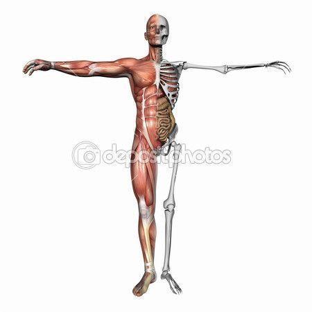 Anatomía del cuerpo humano, los músculos y esqueleto.