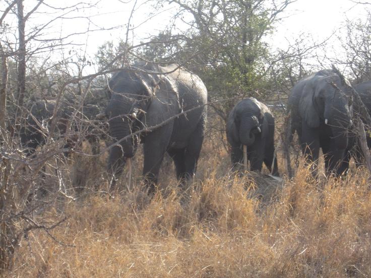 Olifanten in een grote groep lopen om de auto heen