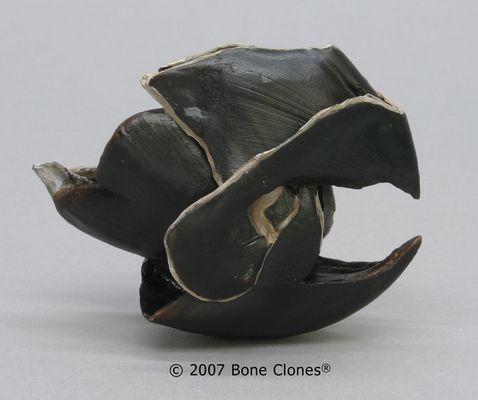 Giant Squid Beak - Bone Clones, Inc. - Osteological Reproductions