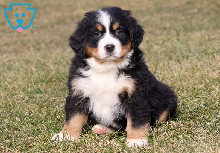 Bernese Mountain Dog Puppies For Sale Northern California 2021