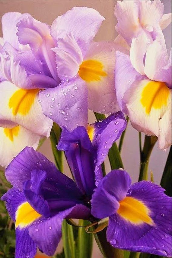 Анимацию, открытки цветы-ирисы