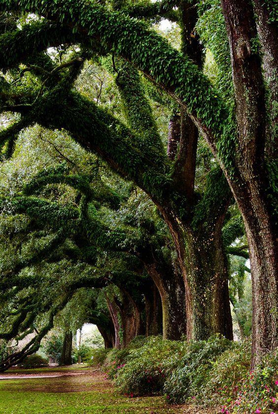 Ancient Oak Trees.