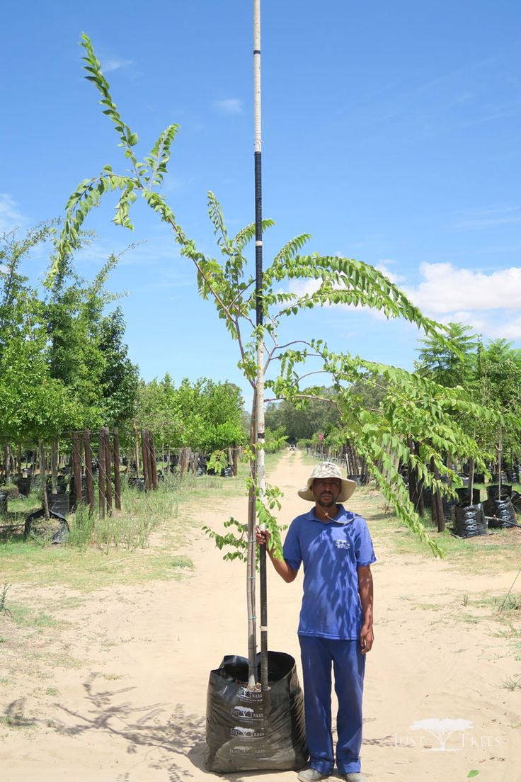 100L Celtis africana (White Stinkwood). This indigenous tree is a beautiful addition to any landscape with its smooth pale bark that contrasts with light green leaves, which turn darker as they mature. Fast and easy to grow, the Celtis africana is particularly good as a shade tree.