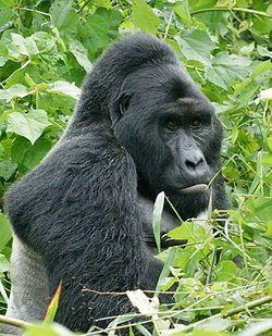 Eastern Lowland Gorilla in Uganda