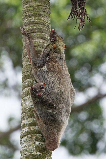 Sunda Flying Lemur - FYAP2065   Flickr - Photo Sharing!