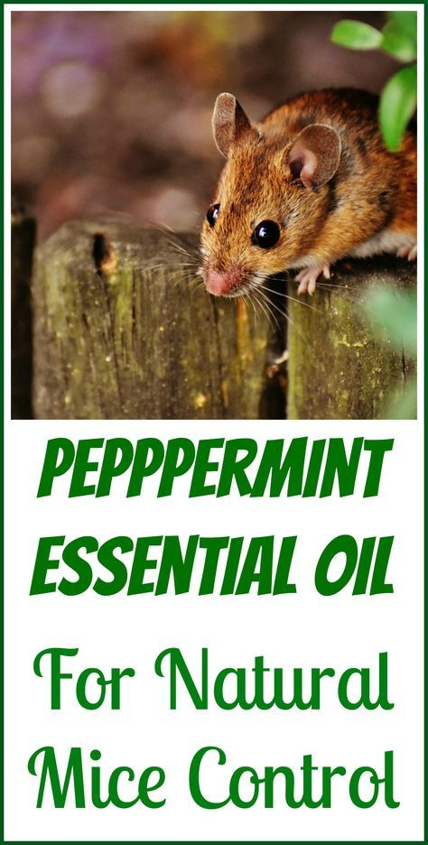how to make peppermint oil to get rid of mice