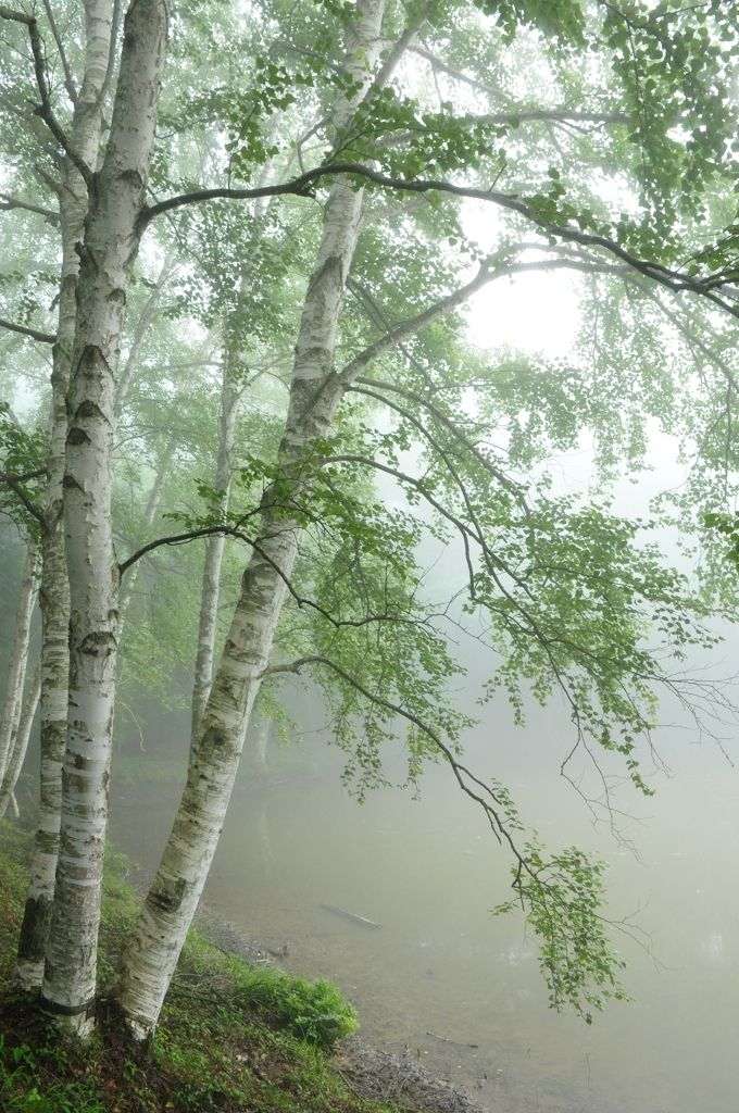 birch trees by the water on a cloudy day  petitpoulailler:  miizukizu: By clapton