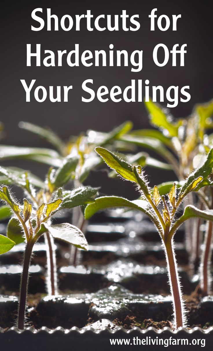 Top 3 shortcuts for hardening off your seedlings blog and training video at http://thelivingfarm.org/how-to-harden-off-seedlings/