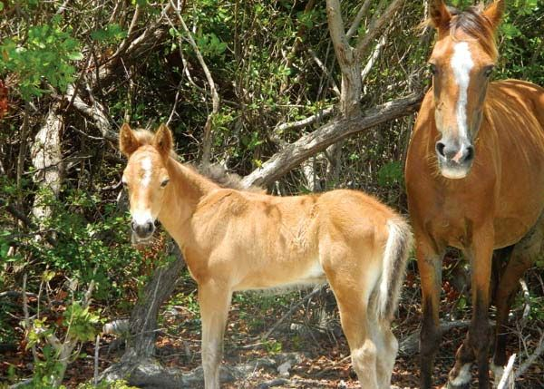 Wild Horses and Donkeys roam all over the island of Grand Turk