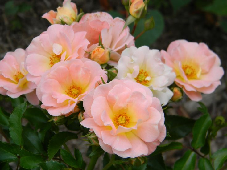Peach Drift® is one of the most floriferous dwarf shrubs available