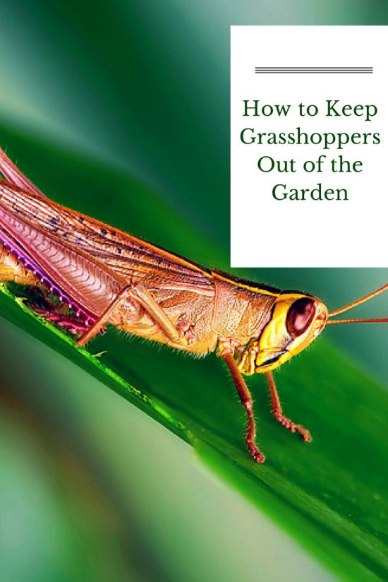 Natural Way To Get Rid Of Grasshoppers
