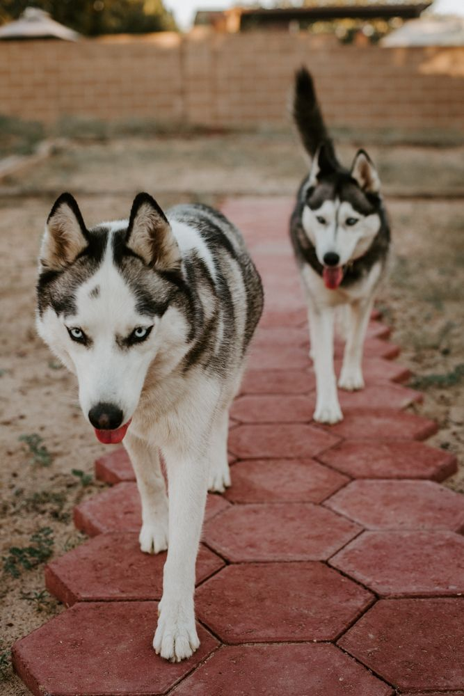 Koba And Calypso My Two Siberian Huskies Walking In Our New