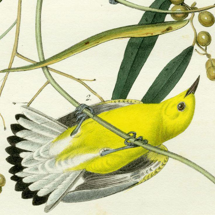 7 Best Images About Audubon John James On Pinterest