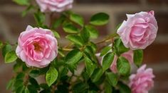Rosen düngen im Juni