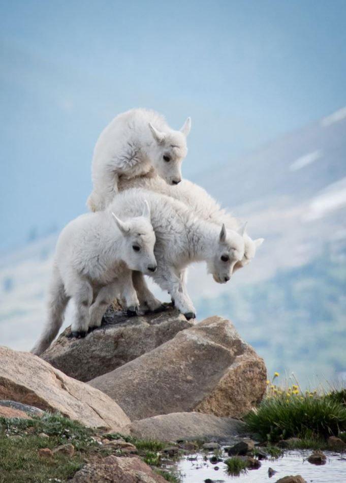 Mountain Goats. Mount Evans, Colorado, United States