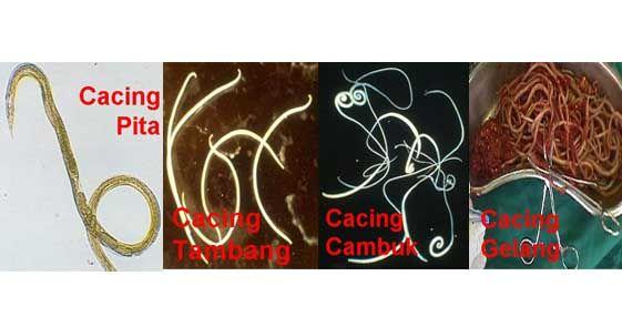 Memberantas Cacing Perut Dengan Herbal Pilihan