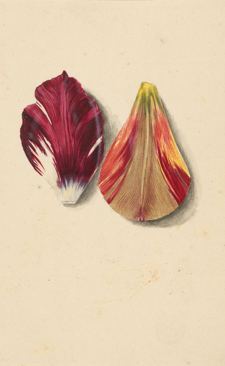 Two tulip leaves.