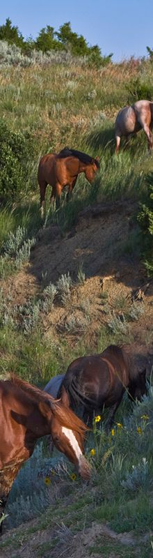 """Dan Sorensen - Photographer """"These are wild horses having breakfast on a hillside in North Dakota's Theodore Roosevelt National Park. They actually startled me as I came over the hillside on my little hike as I didn't expect to see these beautiful creatures."""
