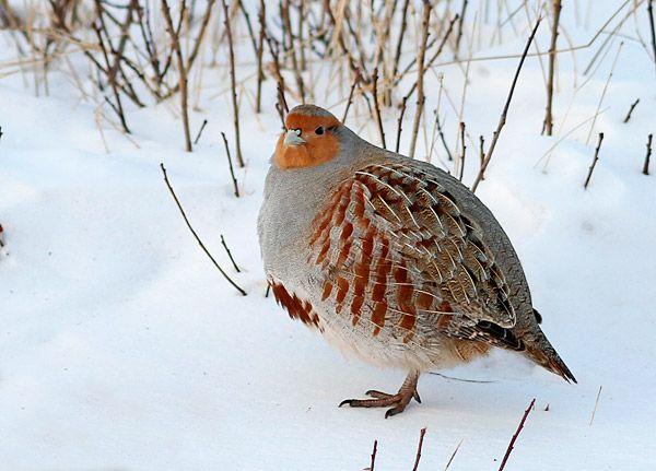 Grey Partridge / Perdiz pardilla (Perdix perdix)